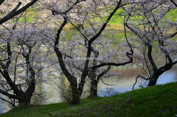 桜 千鳥ヶ淵 並木