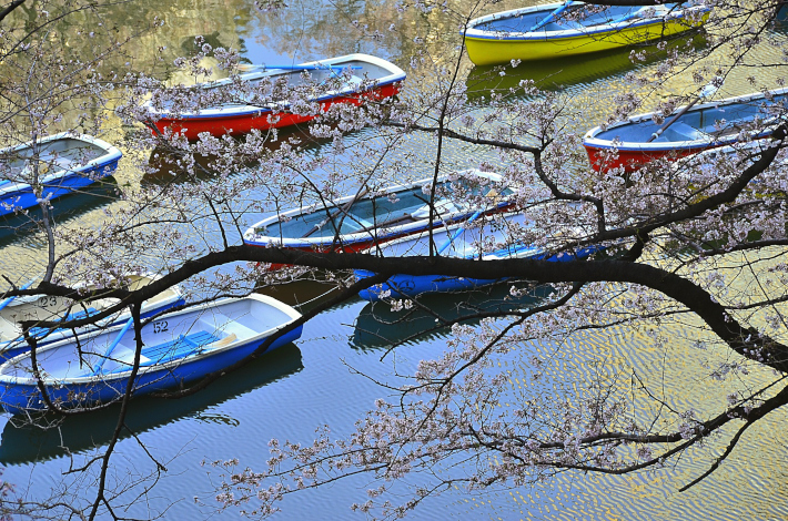 桜 千鳥ヶ淵 ボート