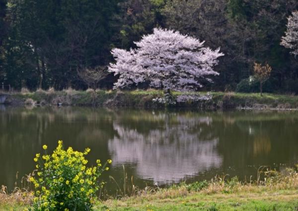 桜 DSC_0002