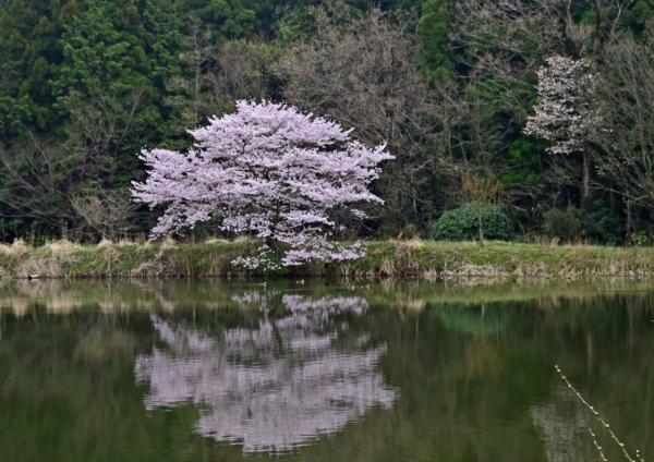 桜 DSC_0103
