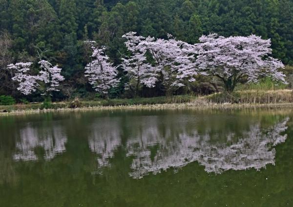 桜 DSC_0108