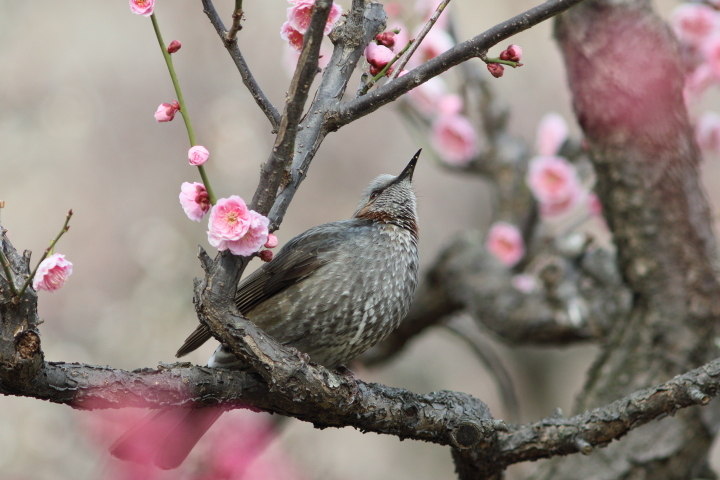 梅にヒヨドリ (3)