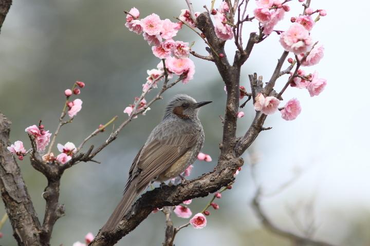 梅にヒヨドリ (5)