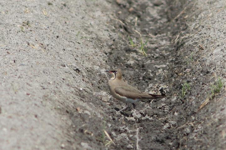 ツバメチドリ (3)