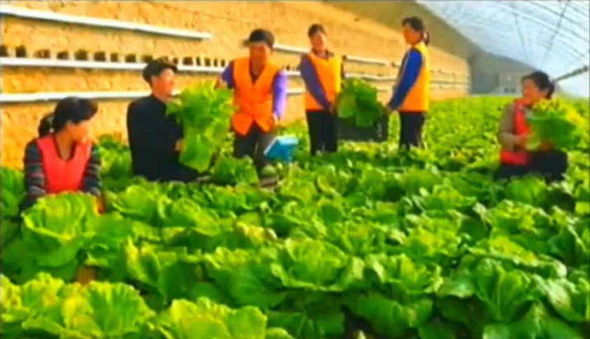 北鮮 野菜培場