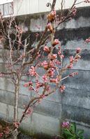 桜 そろそろが