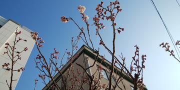 306 桜蕾1