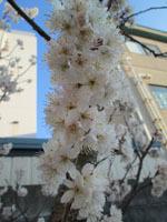 314 桜1