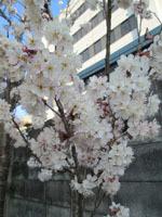 314 桜2