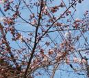327 桜