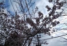 境内外の桜桜