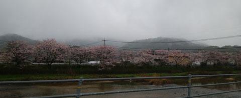 由宇の川沿い 桜a