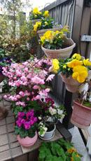 409 春色階段のお花たち1