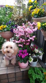 409 春色階段のお花たち4