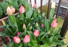 411 春色階段のお花たち1