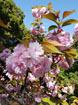 414 城山散歩 八重桜a
