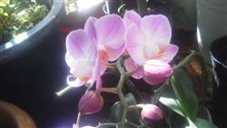 ピンクのファレV_R