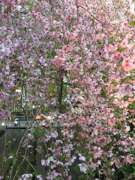 170413 京都桜2