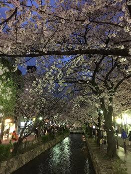 170413 京都桜3