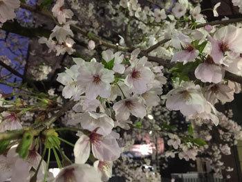 170413 京都桜1