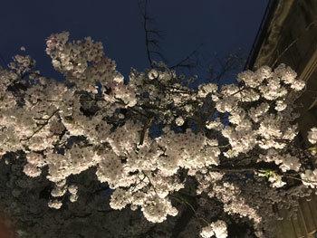 170413 京都桜5