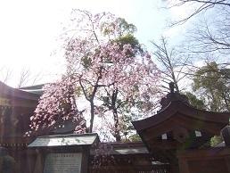 2017年4月しだれ桜