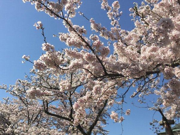 nagahamajoh-sakura-002.jpg