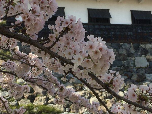 nagahamajoh-sakura-015.jpg