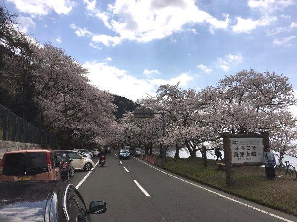 okubiwako-sakura-001.jpg