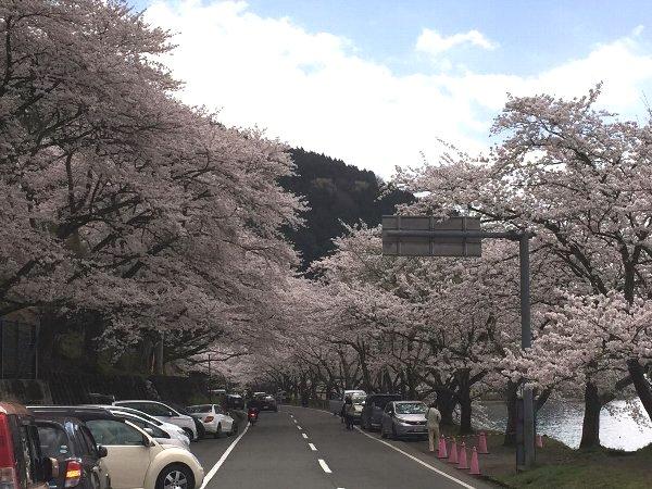 okubiwako-sakura-002.jpg