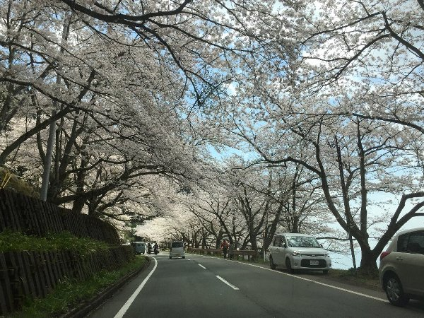 okubiwako-sakura-004.jpg
