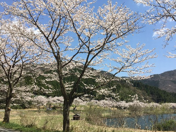 okubiwako-sakura-014.jpg