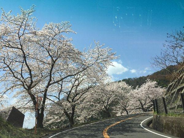 okubiwako-sakura-019.jpg