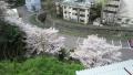 大産大の桜