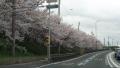 深北の桜2017