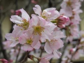 3月23日けいおう桜