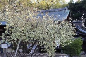 4月16日晴れ8分咲き