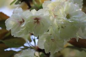 4月16日晴れ【咲き中】