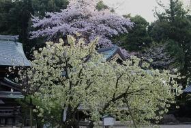 4月17日晴れ咲き始め
