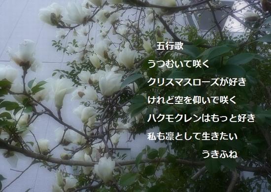 ハクモクレン・五行歌②