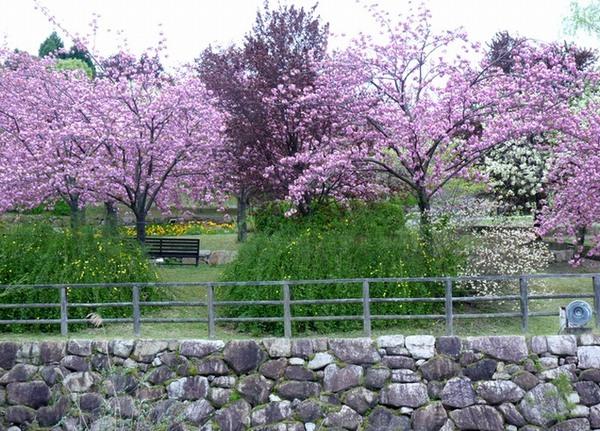 植物公園の八重桜②
