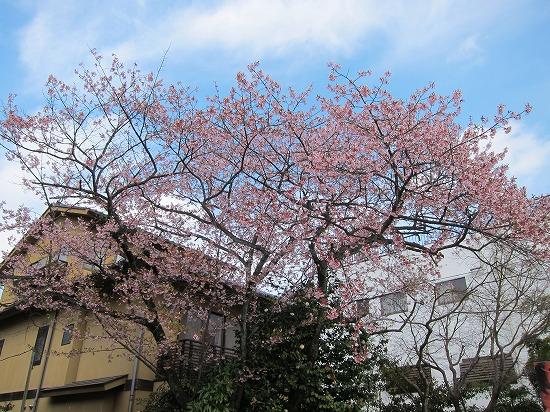 高尾山口桜