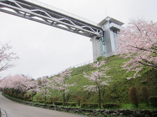 愛川公園桜見上げ