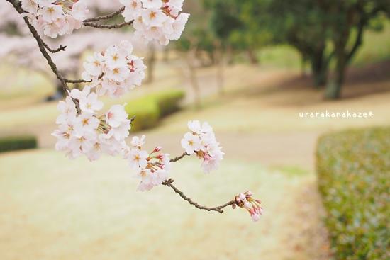 神山森林公園の桜
