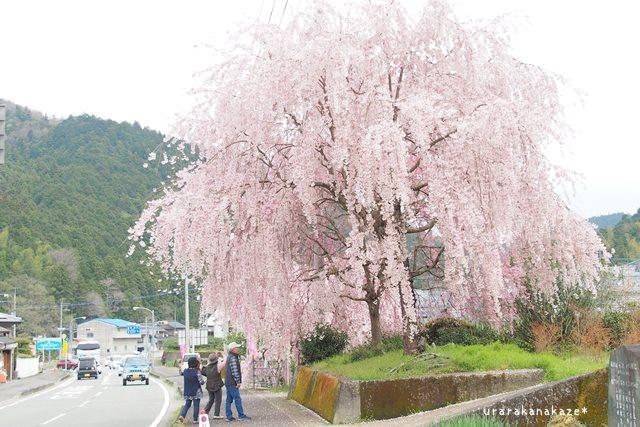神山町 さくら街道のしだれ桜