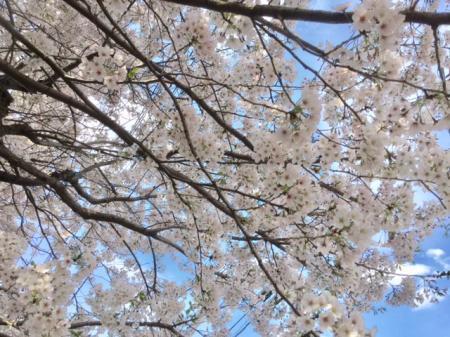 S20170412桜最終日