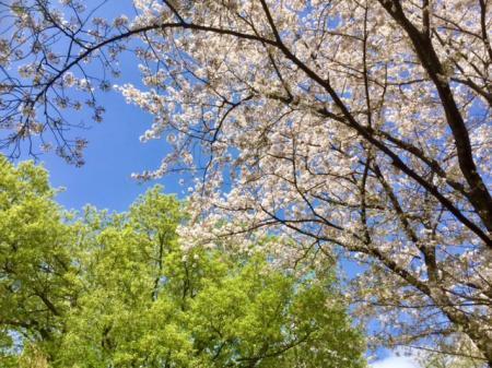 S20170412新緑と桜