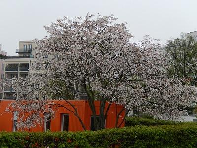 Bauhaus桜