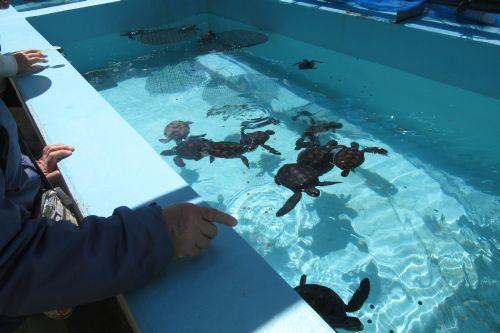 アカウミガメ幼体