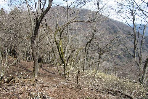 権現山とミツマタ